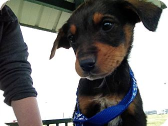 Shepherd (Unknown Type) Mix Puppy for adoption in Westminster, Colorado - Skeeter