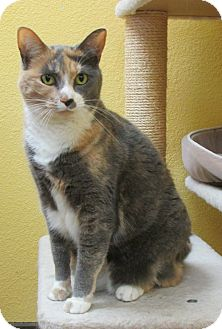 Calico Cat for adoption in Benbrook, Texas - Jo