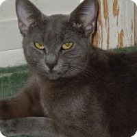 Domestic Shorthair Cat for adoption in Jacksonville, North Carolina - Tilly