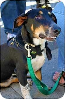 Dachshund/Basset Hound Mix Puppy for adoption in Sunnyvale, California - Gus