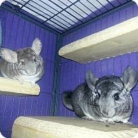 Adopt A Pet :: Shadow & Luna - Jacksonville, FL