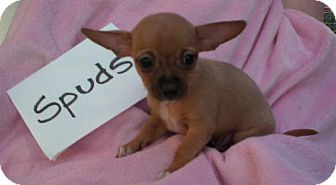 Rat Terrier/Chihuahua Mix Puppy for adoption in Long Beach, California - Spudsy