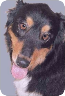 Australian Shepherd Mix Dog for adoption in Grass Valley, California - Millier Morgan