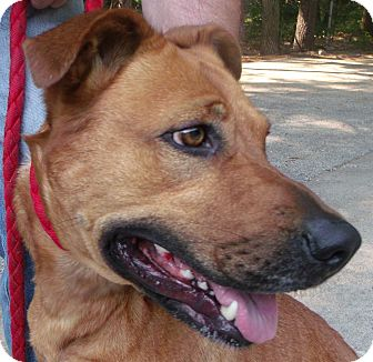 American Pit Bull Terrier/German Shepherd Dog Mix Dog for adoption in Muskegon, Michigan - Mia