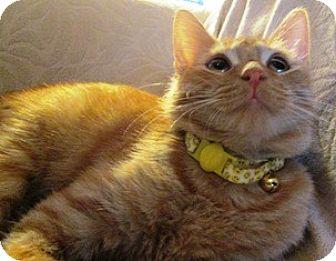 Domestic Shorthair Kitten for adoption in Lebanon, Pennsylvania - Sparky