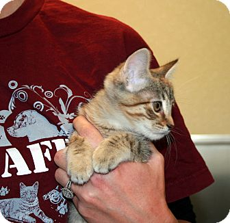 Domestic Shorthair Kitten for adoption in Yucca Valley, California - Feathers Edurne Deering