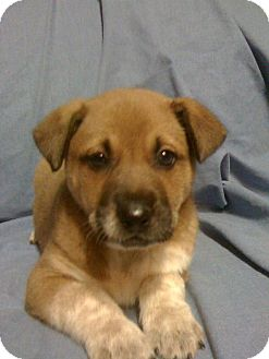 Australian Shepherd/German Shepherd Dog Mix Puppy for adoption in Green Cove Springs, Florida - Sunny