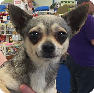 Chihuahua Dog for adoption in Orlando, Florida - Lacy