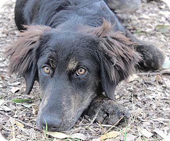 Collie/Shepherd (Unknown Type) Mix Dog for adoption in Wheaton, Illinois - HICKORY