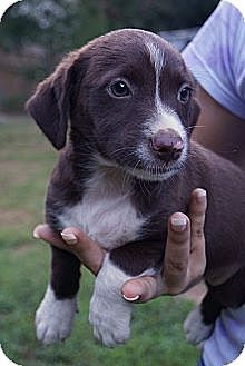 Dachshund/Terrier (Unknown Type, Small) Mix Puppy for adoption in West Nyack, New York - Melody
