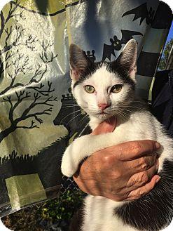 Domestic Shorthair Kitten for adoption in Baltimore, Maryland - Finn
