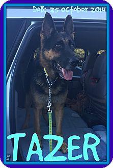 German Shepherd Dog Dog for adoption in Albany, New York - TAZER