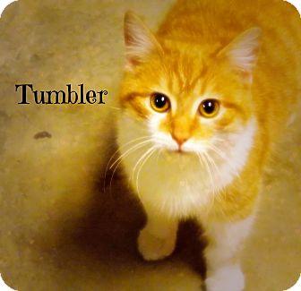 Domestic Shorthair Cat for adoption in Defiance, Ohio - Tumbler