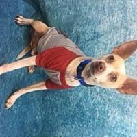 Adopt A Pet :: Dingo - Lake Elsinore, CA