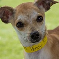 Adopt A Pet :: Percy - Colorado Springs, CO
