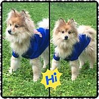 Pomeranian Dog for adoption in Hicksville, New York - Diggy