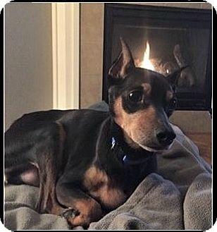 Miniature Pinscher Dog for adoption in Denver, Colorado - Ridley
