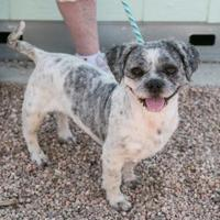Shih Tzu Mix Dog for adoption in Fort Lupton, Colorado - Spanky