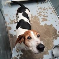 Treeing Walker Coonhound Mix Dog for adoption in Savannah, Tennessee - Jammer