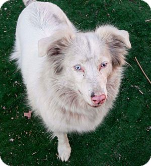 Border Collie Dog for adoption in Henderson, Nevada - Spirit