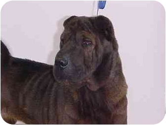 Shar Pei Dog for adoption in Houston, Texas - Cocoa