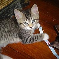 Adopt A Pet :: Sunny&Brownie-Love Bug Kitten - New York, NY