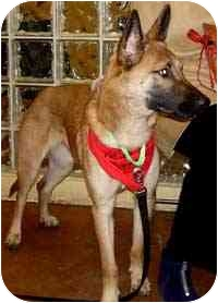 Belgian Malinois Puppy for adoption in Moon Township, Pennsylvania - Nikita