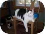 Domestic Shorthair Cat for adoption in North Boston, New York - Mushie