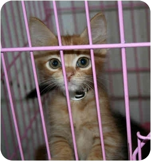 Domestic Shorthair Kitten for adoption in tucson, Arizona - Toodles