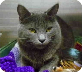 Domestic Shorthair Cat for adoption in San Clemente, California - WENDELL