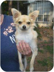 Chihuahua Dog for adoption in New Milford, Connecticut - Bonnie