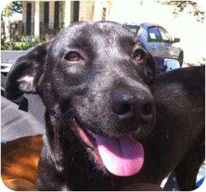 Labrador Retriever Mix Dog for adoption in Schertz, Texas - Athenia