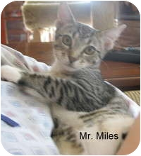 Domestic Shorthair Kitten for adoption in Tampa, Florida - Miles