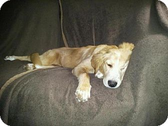 Golden Retriever Mix Puppy for adoption in Knoxvillle, Tennessee - Shelby