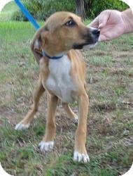 Labrador Retriever/Hound (Unknown Type) Mix Puppy for adoption in Hagerstown, Maryland - Micky