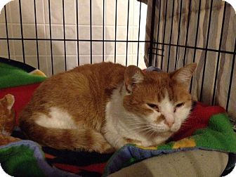 Domestic Shorthair Cat for adoption in Byron Center, Michigan - Noni