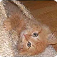Adopt A Pet :: Cheddar - Portland, OR