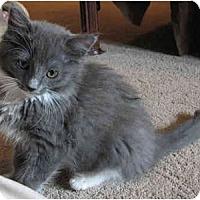 Adopt A Pet :: Bonnie Blue - Davis, CA