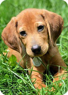 Labrador Retriever/Hound (Unknown Type) Mix Puppy for adoption in Kalamazoo, Michigan - Troy - Katrina