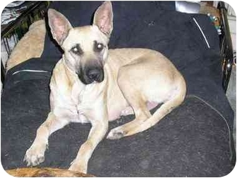 German Shepherd Dog Mix Dog for adoption in Carrollton, Texas - Sophia