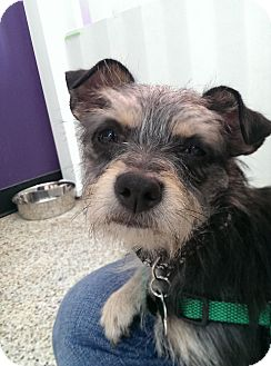 Yorkie, Yorkshire Terrier Mix Dog for adoption in Thousand Oaks, California - Blair
