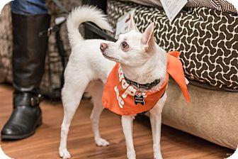 Chihuahua/Pomeranian Mix Dog for adoption in Pitt Meadows, British Columbia - Brady