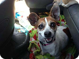 Chihuahua/Terrier (Unknown Type, Small) Mix Dog for adoption in Fowler, California - Haylee