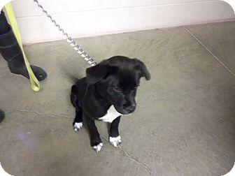 Labrador Retriever/Border Collie Mix Dog for adoption in Worland, Wyoming - Butch