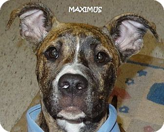 Pit Bull Terrier Mix Puppy for adoption in Lapeer, Michigan - MAXIMUS--PIT BULL MIX CUTIE