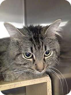 Domestic Mediumhair Cat for adoption in Columbus, Ohio - Romeo