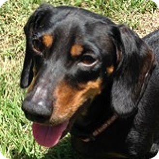 Dachshund Dog for adoption in Houston, Texas - Quincy Cannoli
