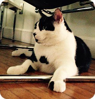 Domestic Shorthair Cat for adoption in Cincinnati, Ohio - Charlie
