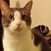 Domestic Shorthair Cat for adoption in Kennedale, Texas - Eli