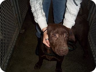 Labrador Retriever Dog for adoption in Greenville, Kentucky - duke
